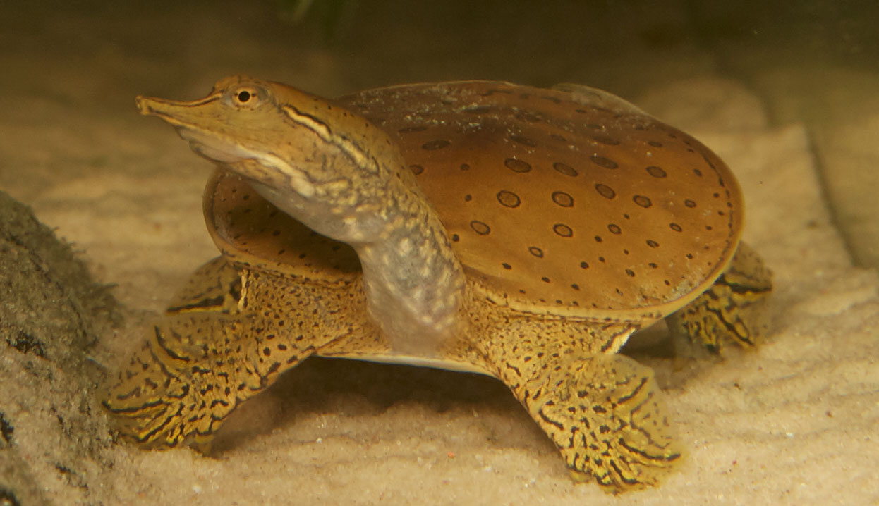 To Begin Out Softshell Turtle Attack